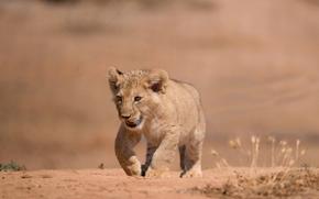лев, львёнок, детёныш