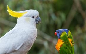 какаду, многоцветный лорикет, лорикеты, попугаи, птицы, босс