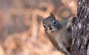 scoiattolo, museruola, visualizzare, albero, bokeh