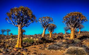 Калахари, Колчан дерево, поле, пейзаж