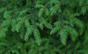 fir branches, needles, nature