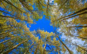 осень, лес, деревья, кроны, верхушки, небо, природа