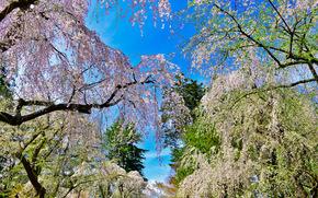 парк, деревья, сакура, япония