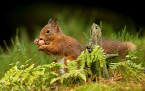 scoiattolo, Redhead, nutlet, erba