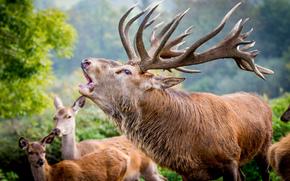 deer, Horns, leader