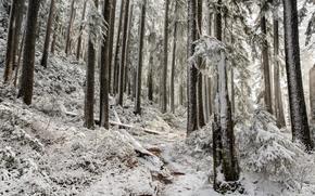лес, деревья, тропинка, первый снег, природа