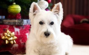 Вест-хайленд-уайт-терьер, собака, взгляд