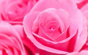 玫瑰, 玫瑰, 花卉, 花, 丰厚, 平缓, 植物群, 植物