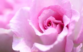 rosa, Roses, Flores, flor, generosamente, suavemente, flora, plantas