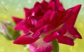 роза, розы, цветок, цветы, флора, растения, красиво, нежно