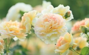 rose gialle, Roses, GERMOGLI