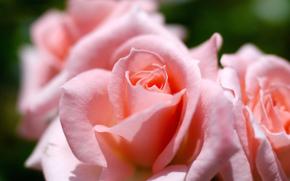 Roses, GERMOGLI, Petali, Macro