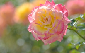 роза, бутон, лепестки, макро, боке