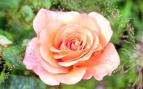 rosa, BUD, Petali, Macro