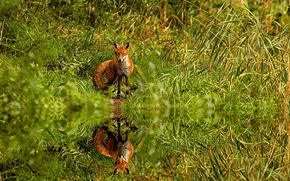 fox, Fox, volpi, predatori, animali della foresta, bestia scavatori, Redhead, sornione, Peloso, Krasava