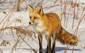 狐狸, 狐狸, 狐狸, 大鳄, 森林里的动物, 穴居野兽, 红发, 狡猾, 毛茸茸的, krasava