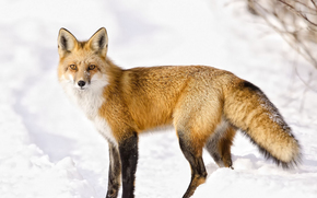 лиса, лис, лисы, хищники, лесные животные, норный зверь, рыжая, хитрая, пушистая, красава