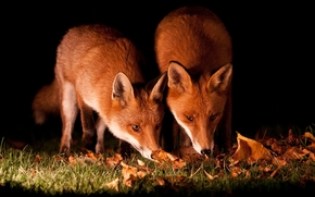 fox, fox, Tier