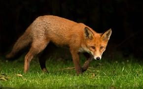 fox, fox, animal