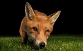 лиса, лисица, животное