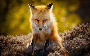 raposa, raposa, animal