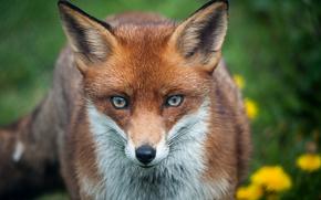 狐狸, 狐狸, 动物