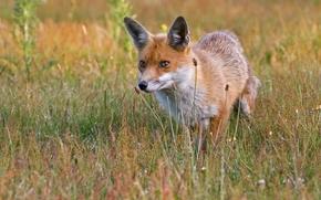 fox, fox, animale