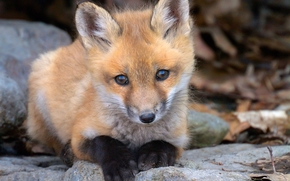 fox, fox, animale, cucciolo