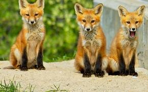лиса, лисица, животное, лисята