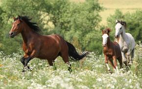 лошади, кони, лошадь, конь, жеребец, скакуны, животные