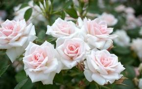 Roses, GERMOGLI, tenerezza