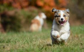 Pastor Australiano, Aussies, perro, cachorro