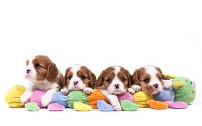 Cavalier King Charles Spaniel, Dog, Puppies, quartet
