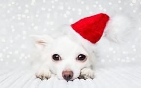 Chihuahua, vira-lata, focinho, ver, boné