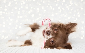 Chihuahua, pecorina, museruola, visualizzare, caramelle