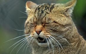 European wildcat, wildcat, Snout, mustache