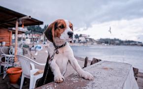 beagle, cane, cucciolo, catena, terrapieno