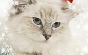 Ano Novo, Natal, férias, COTE, gato, gato, animais, ornamentação, vestuário, boné