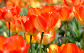 tulipano, TULIPANI, Fiori, fiore, flora, piante, delicatamente, profumatamente