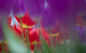 тюльпан, тюльпаны, цветы, цветок, флора, растения, нежно, красиво