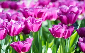 tulipán, TULIPANES, Flores, flor, flora, plantas, suavemente, generosamente