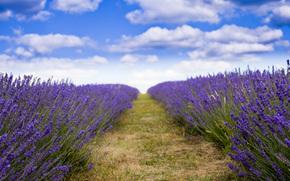 цветы, пейзаж, природа, лаванда, поле, лавандовое поле, поле лавандыцветы, поле лаванды