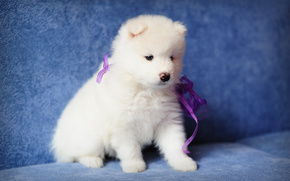 Samoyed, puppy, dog