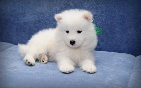 Samoyed, dog, puppy