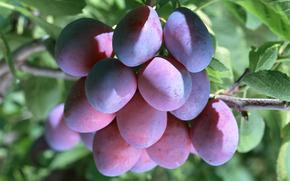 фрукты, флора, растения, плоды, вкусно, слива, еда