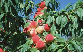 fruit, flora, plants, fruit, delicious, peaches, food