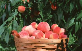 fruit, flora, plants, fruit, delicious, peaches, basket, food