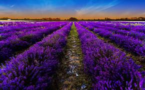 Fiori, paesaggio, natura, lavanda, campo, Lavender Field, campo di lavanda, tramonto