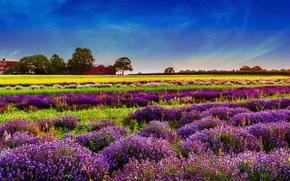 Flores, paisaje, naturaleza, lavanda, campo, Campo de la lavanda, campo de lavanda