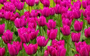 цветы, поле, тюльпаны